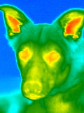 Animal Infrared Thermography photo example